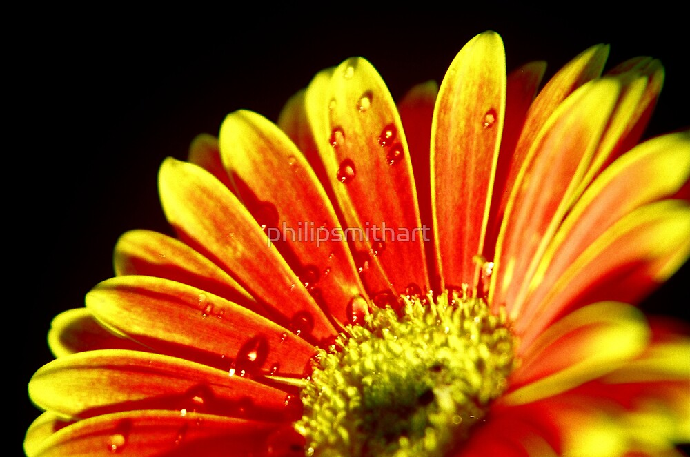 Gerbera by philipsmithart