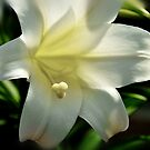 Easter Lily - Happy Easter everyone..... by Poete100