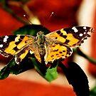 Ein Schmetterling von Evita