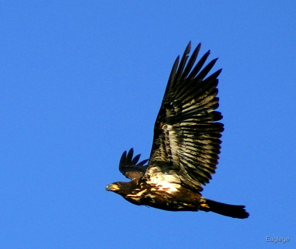 Young Bald Eagle in Flight by Eagleye