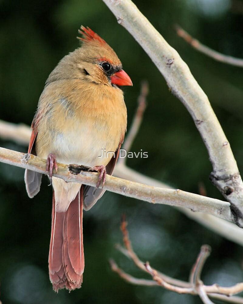 Female Cardinal by Jim Davis