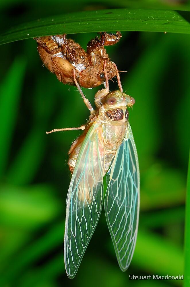 Emergent cicada by Stewart Macdonald