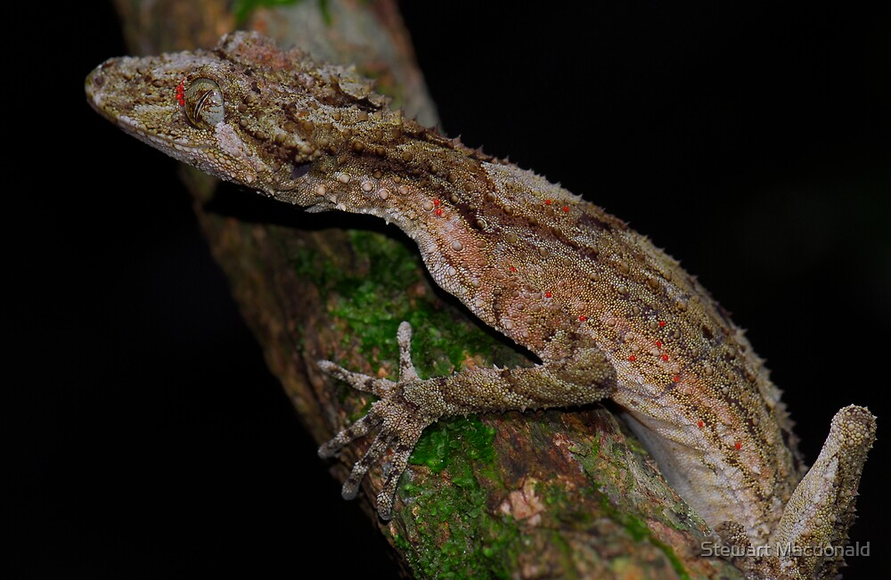 Southern leaf-tailed gecko by Stewart Macdonald