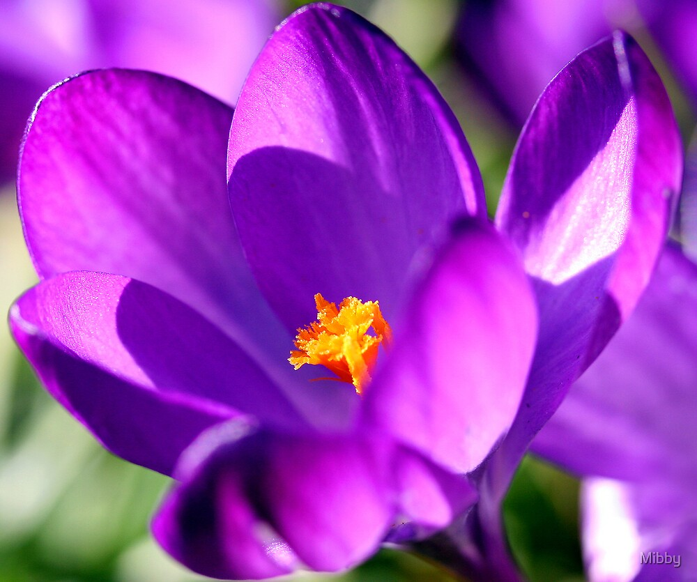 Purple Crocus by Mibby