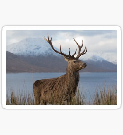 Red Deer Stag in Winter Sticker