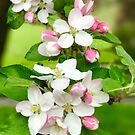 Apple Blossoms by Christine  Wilson