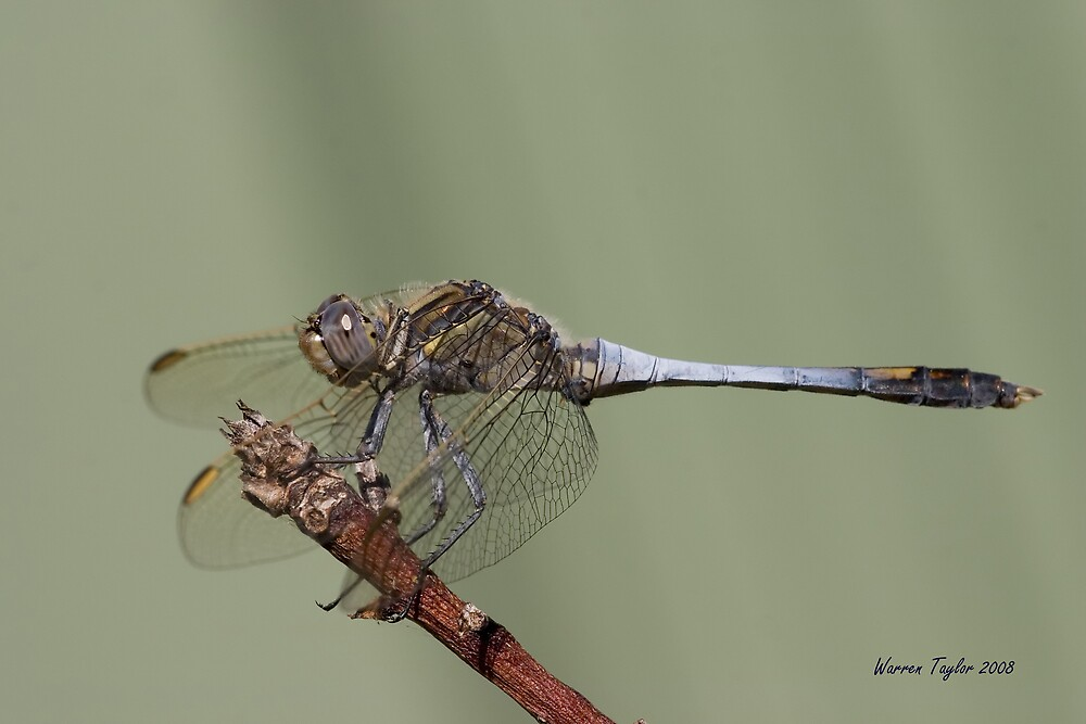 Blue Dragonfly by Warren Taylor