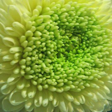 Chrysanthemum  by knightingail