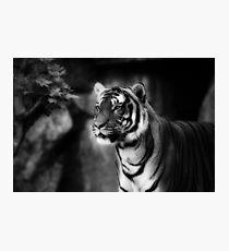 sebirian tiger, tiger black and white Photographic Print