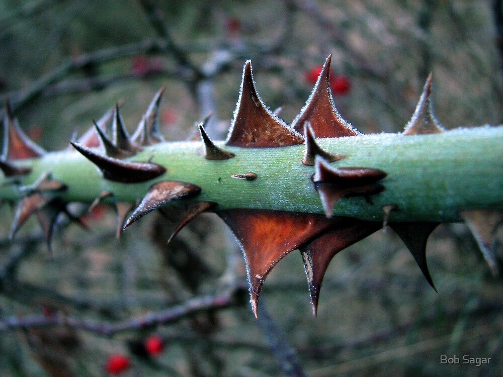 Frosted Thorns by Bob Sagar