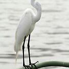 Elegant Egret by Carol Bailey-White