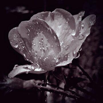 Rose by venny