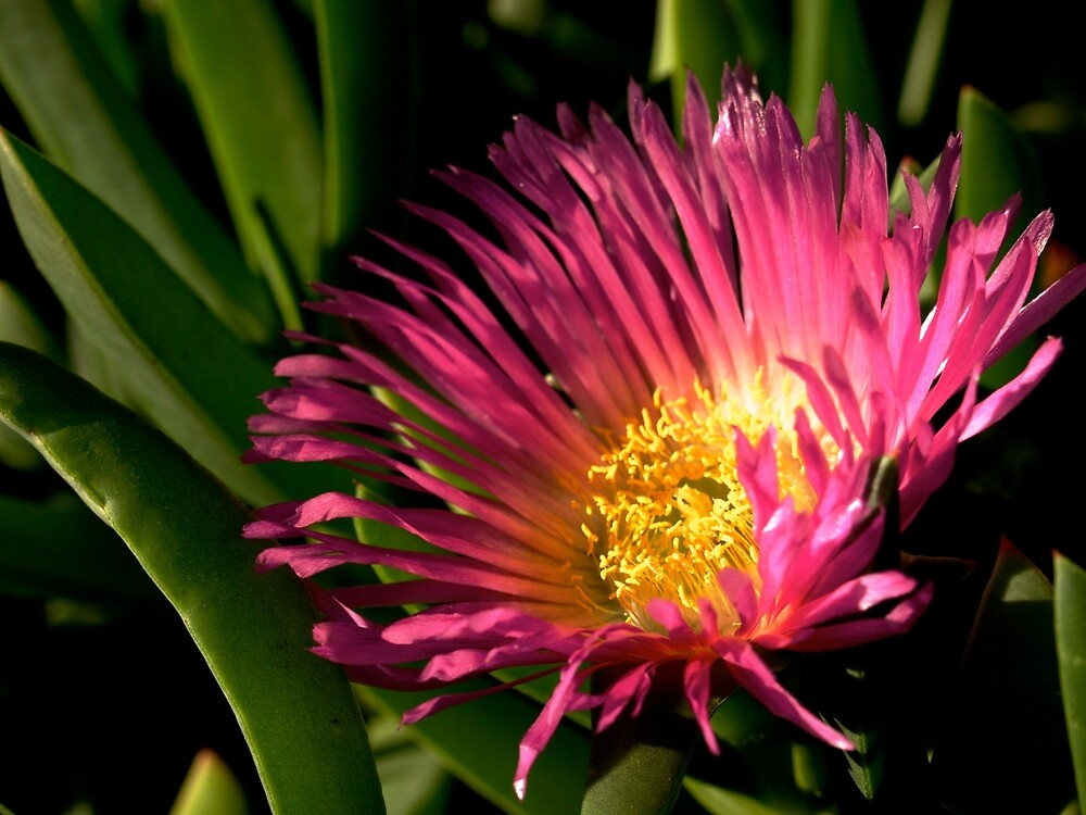 Ice Plant Flower by Douglas E.  Welch