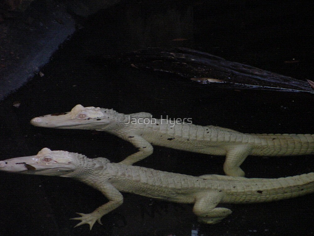 Albino Gators by Jacob Hyers