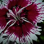 White edged magenta flower Leith Park Victoria 20170324 1430 by Fred Mitchell