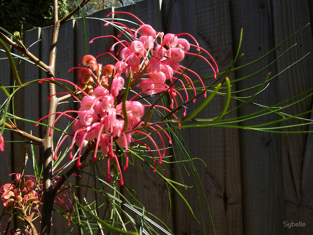Pink Grevillea by Sybelle