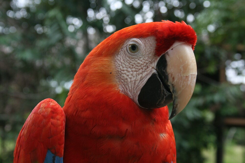 Scarlet Macaw by Thomas Entwistle