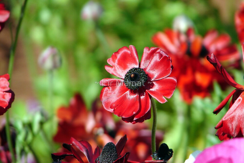 Ranunculus by ~ Fir Mamat ~