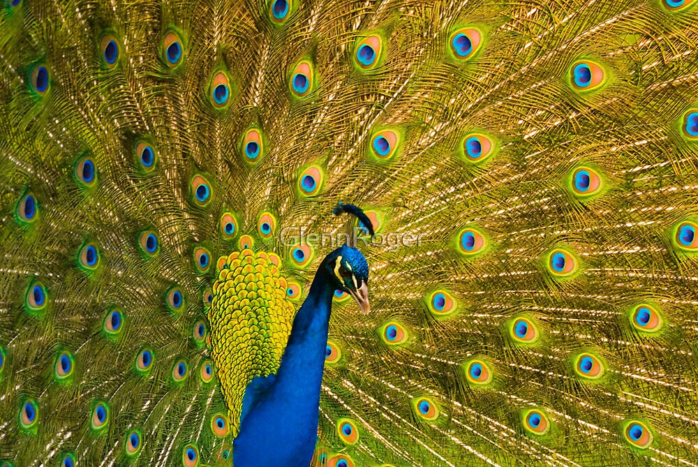 Peacock by GlennRoger