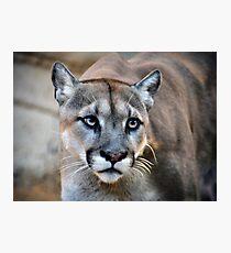 Cougar Photographic Print