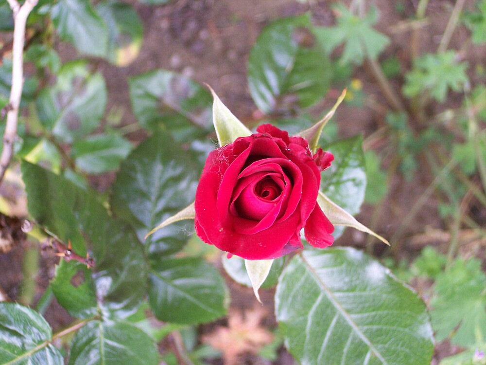 The Rose by Valerie