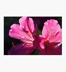 Two Pink Azalea's Photographic Print