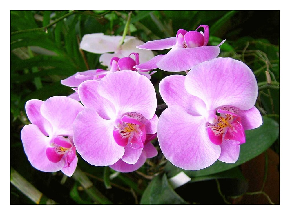 orchidcard1 by Devika Fernando