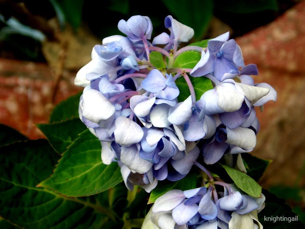 Grandma's Hydrangea by knightingail