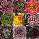 Farbenfrohe Sempervivum Collage by Martina Cross
