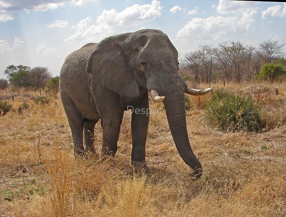 Grazing Elephant by Despot