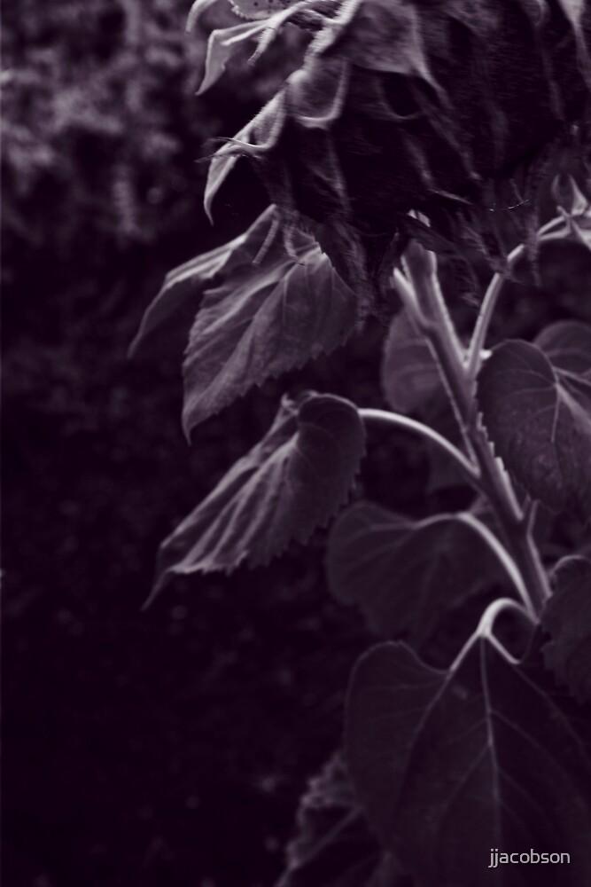 Sunflower Series 3 by jjacobson