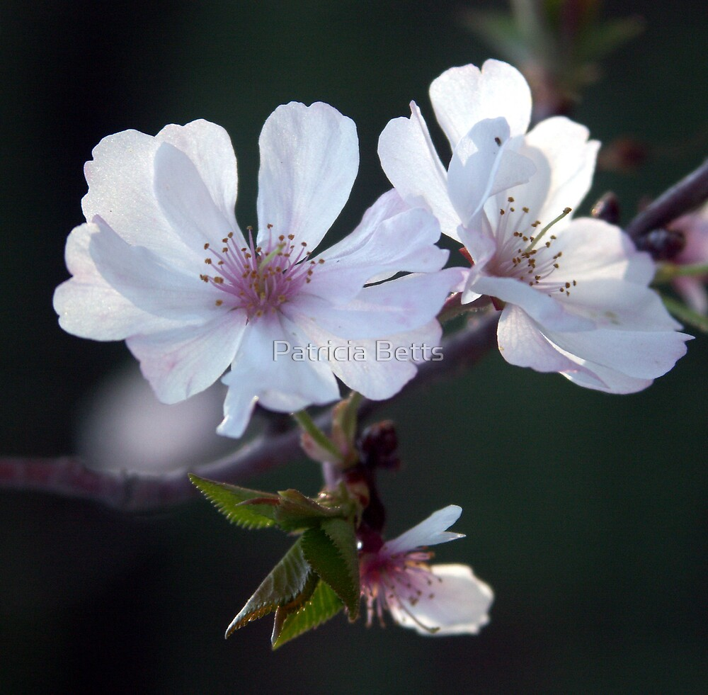 Blossoms by Patricia Betts