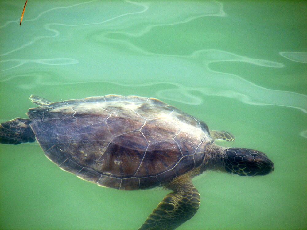 Sea Turtle by Deborah Stewart