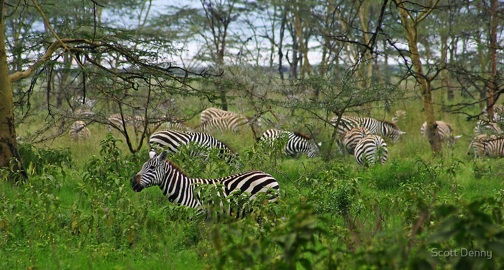 Zebras All Around by Scott Denny