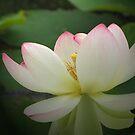 Lotus in light by orko