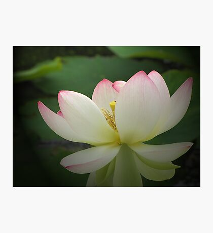 Lotus in light Photographic Print