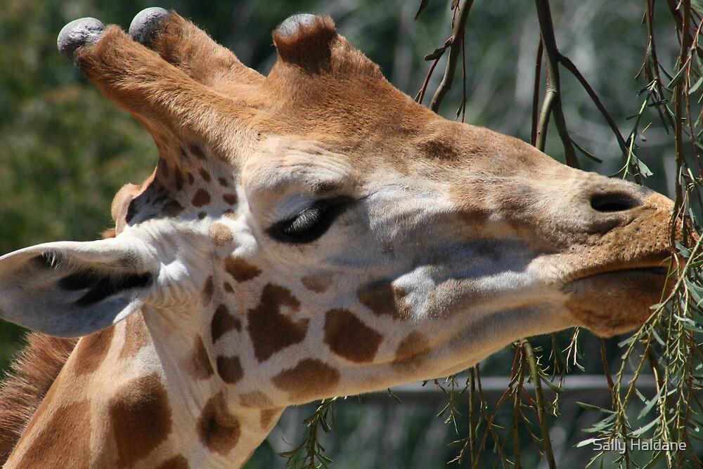 Giraffe by Sally Haldane