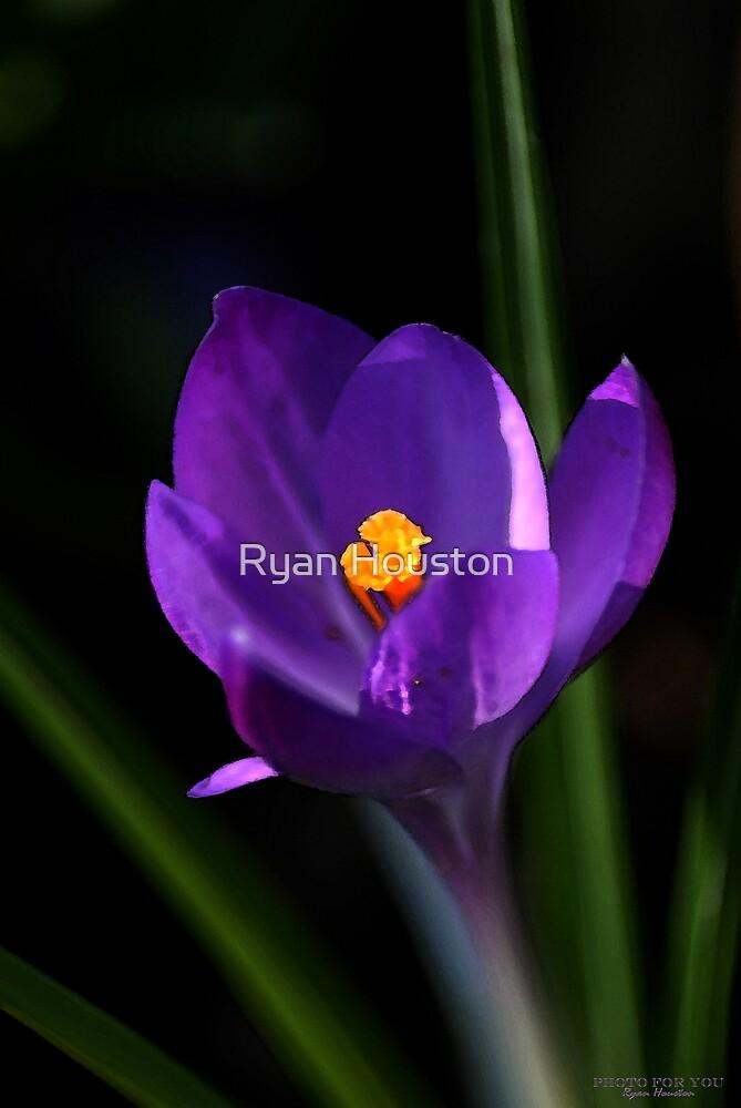 Purple Crocus Flower  by Ryan Houston