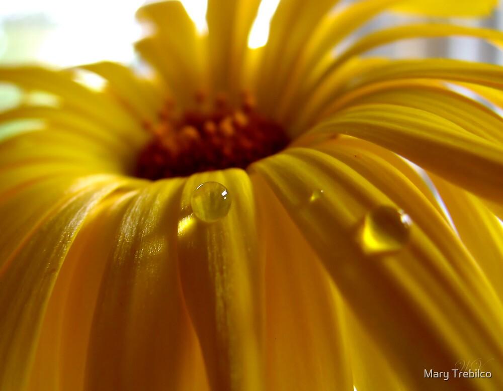 Calendula pearl by Mary Trebilco