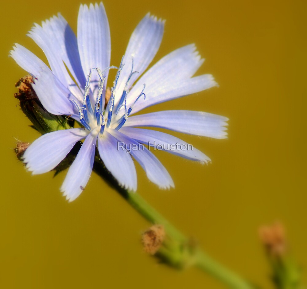 Cornflower by Ryan Houston