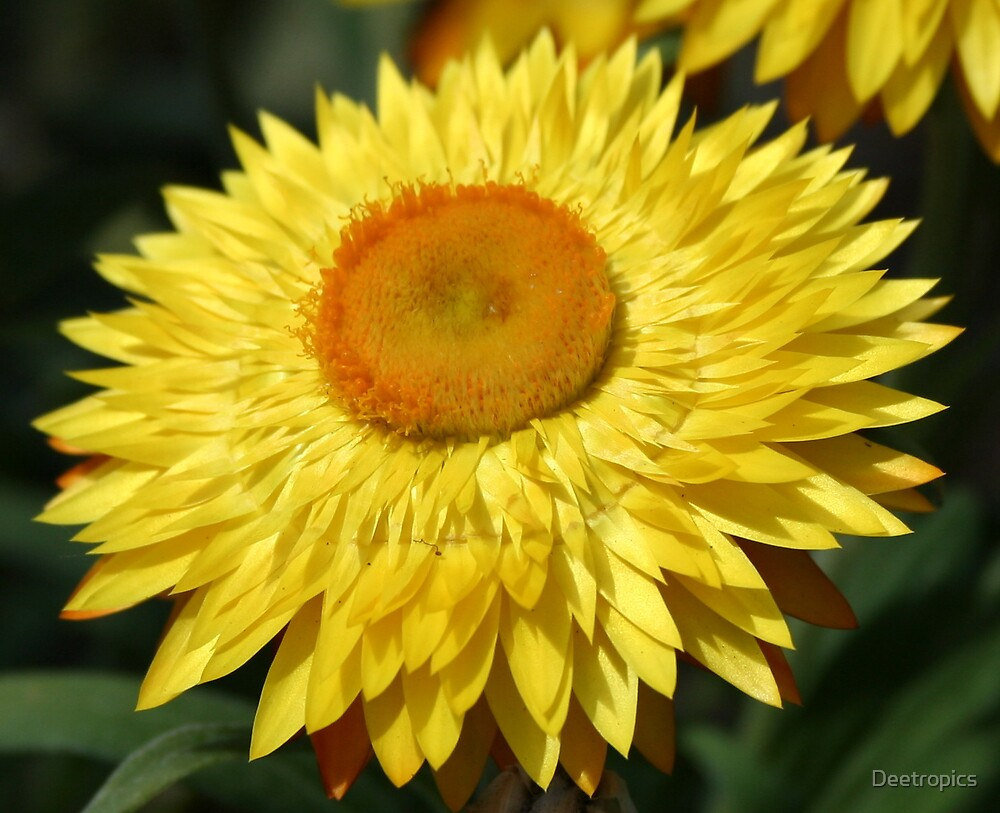 Yellow Dried Flower by Deetropics