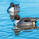 Pintail Ducks and reflections by Dave  Knowles