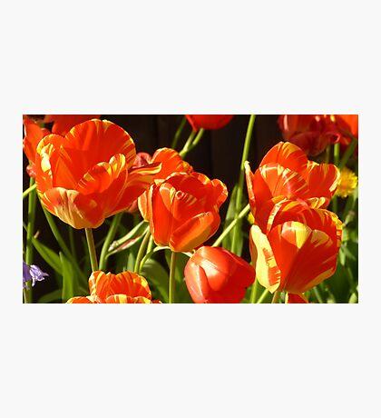 Golden tulips Photographic Print