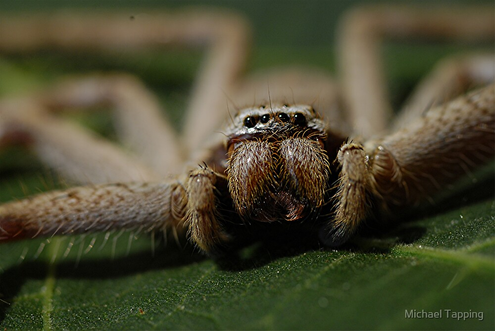 Huntsman Spider by Michael Tapping