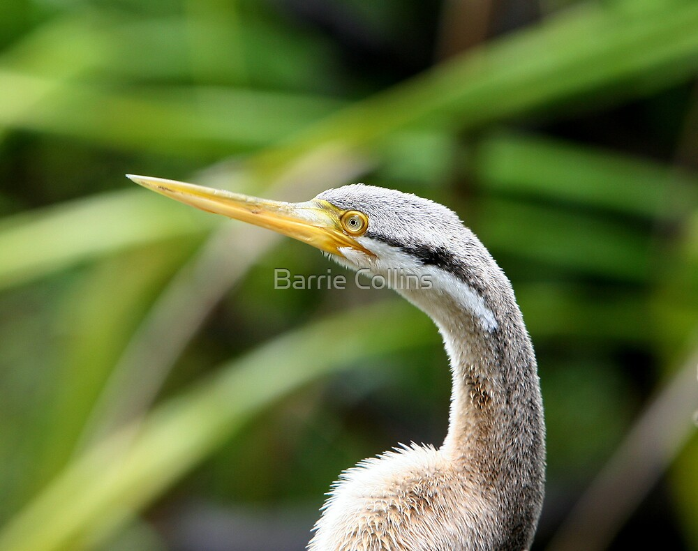 Mrs Darter by Barrie Collins