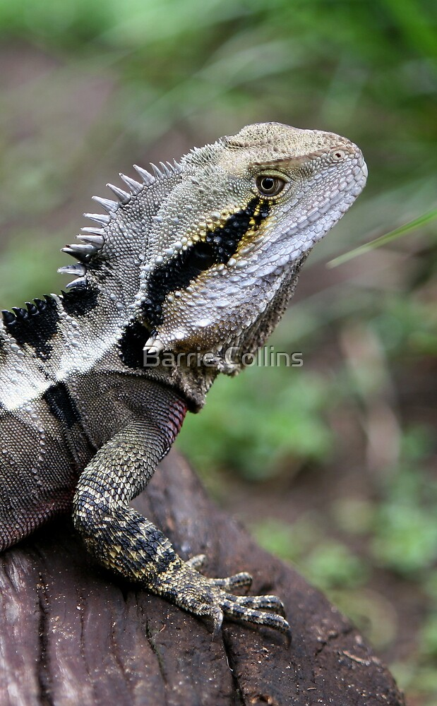 Eastern Water Dragon by Barrie Collins