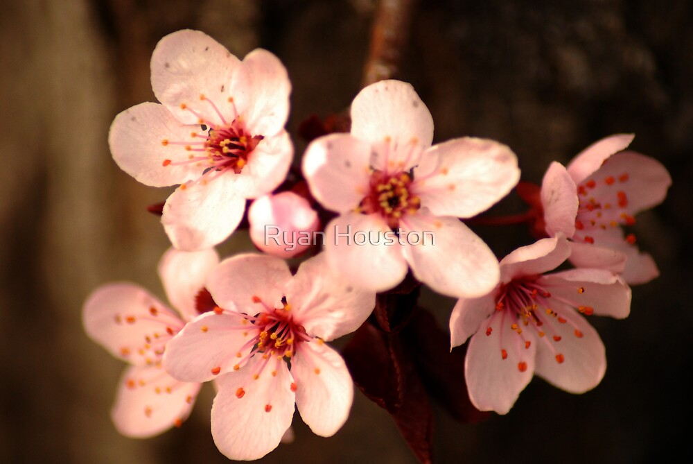 Blossoming Crabapples by Ryan Houston