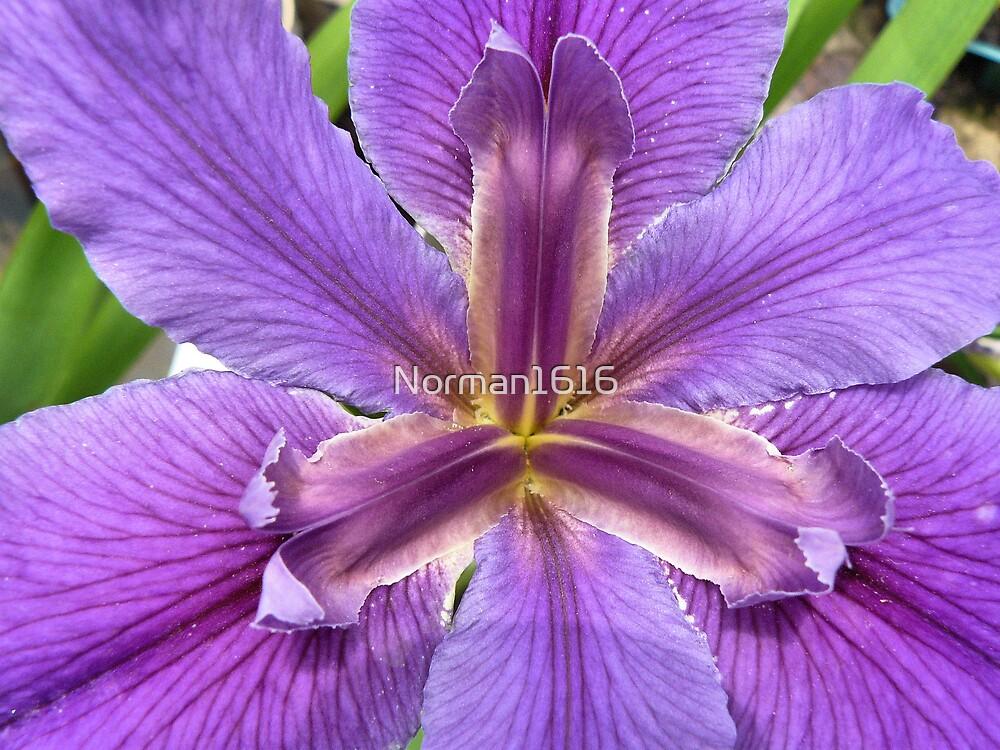 Purple by Norman1616