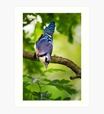 Blue Jay Bird Portrait Art Print
