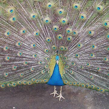Peacock Splendor by Designcat